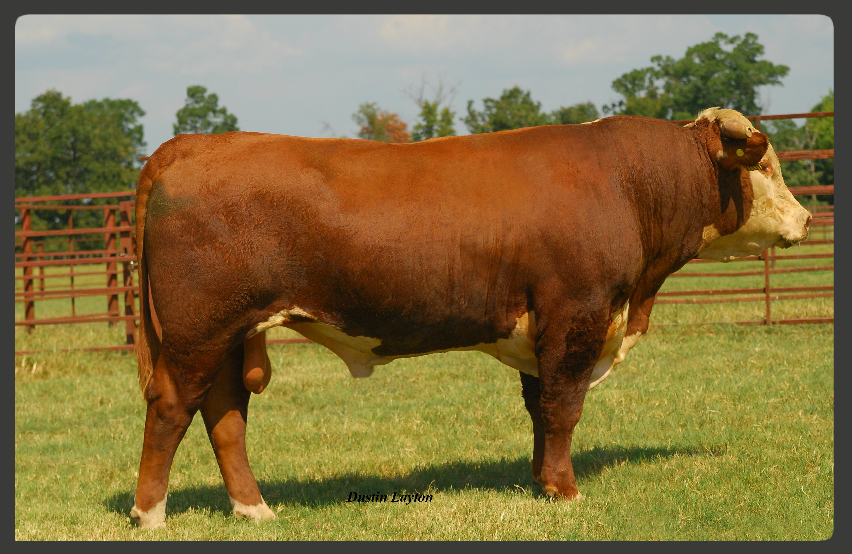 Hereford Sires | Debter Hereford Farm